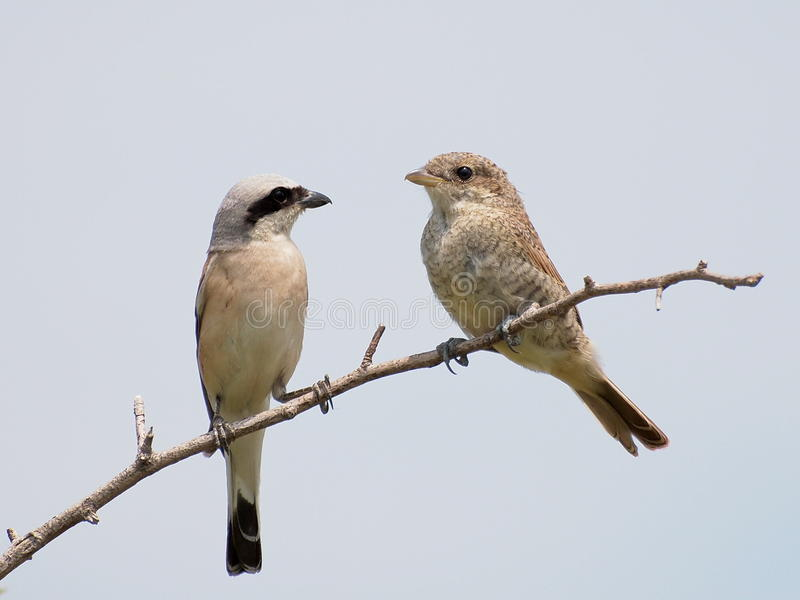 Download Red Backed Shrike, Lanius Colluri Stock Image - Image: 20340901