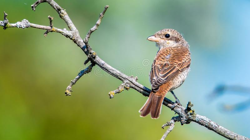 The red-backed shrike Lanius collurio - female royalty free stock image