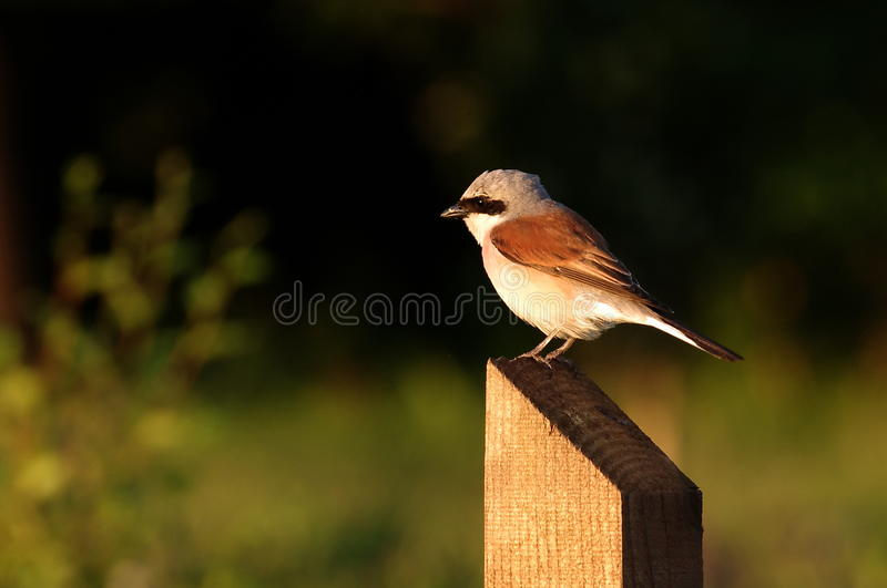Download Red backed shrike - male stock image. Image of beak, africa - 25148243