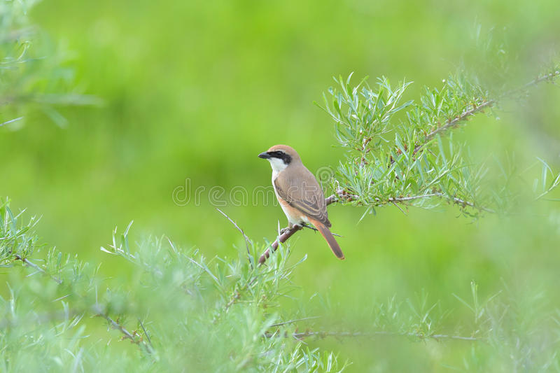 Red-backed Shrike preys on a green meadow stock images