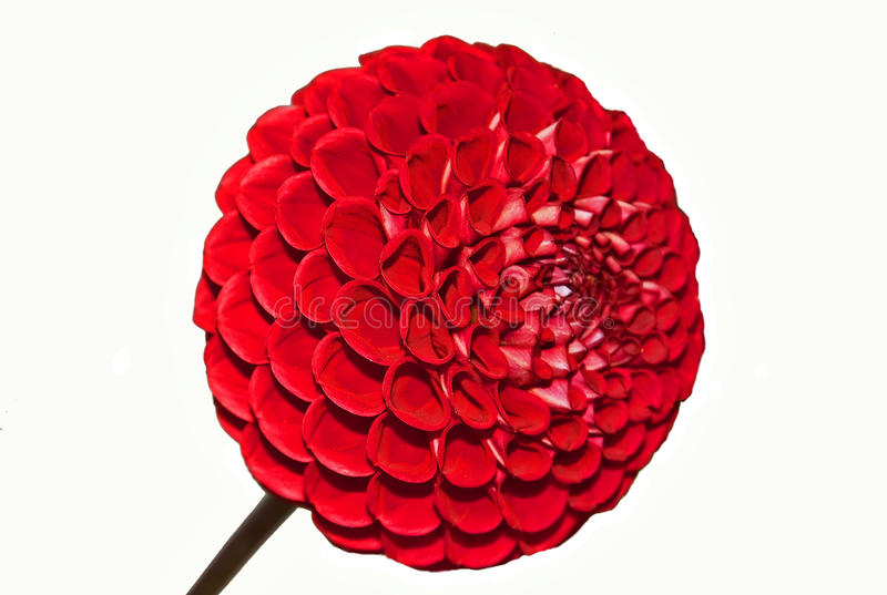 Red Ball Dahlia Flower Isolated on White stock photography