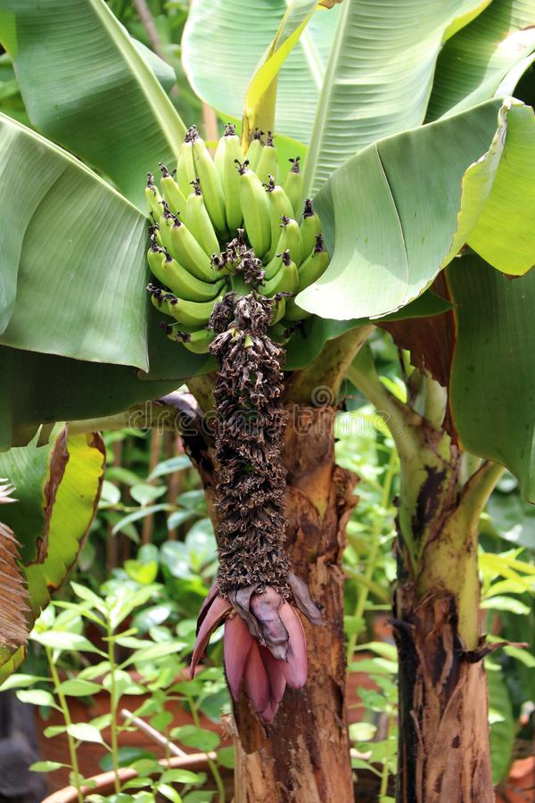 Red banana blossom sprouting from the end of a bunch of cultivated banana from the tree with leaf. royalty free stock photos