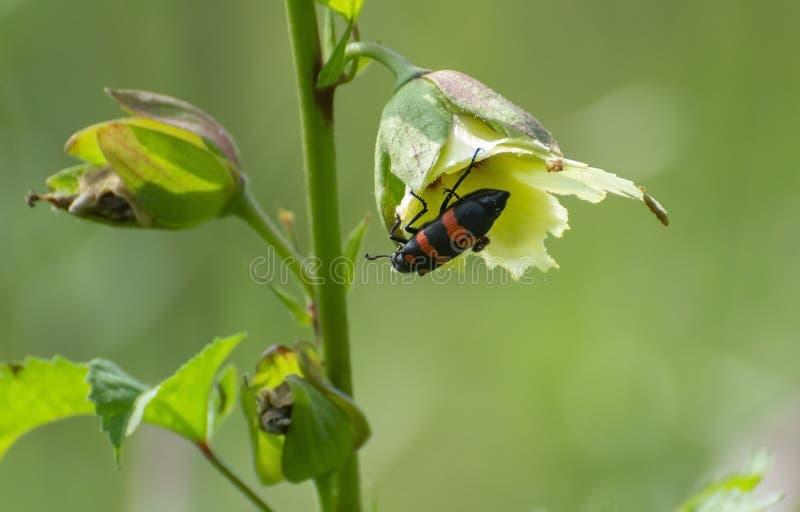 Red Banded Blister Beetle op Wild Okra Plant stock fotografie