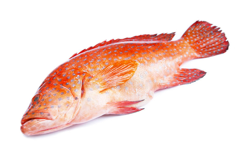 Red-banded grouper isolated. On white background stock images