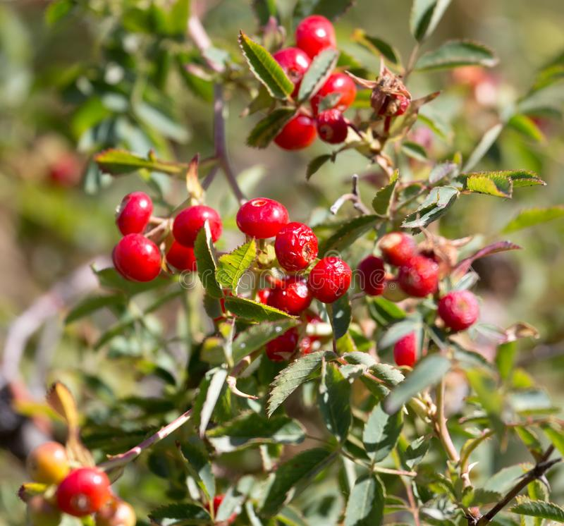 Red barberry on the nature stock image