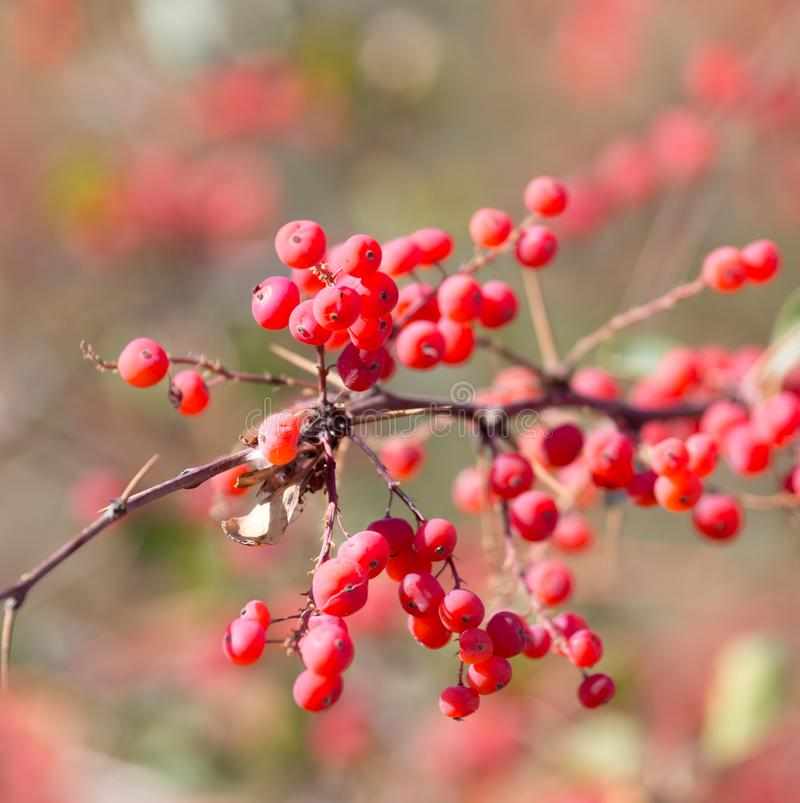 Red barberry on the nature stock photo