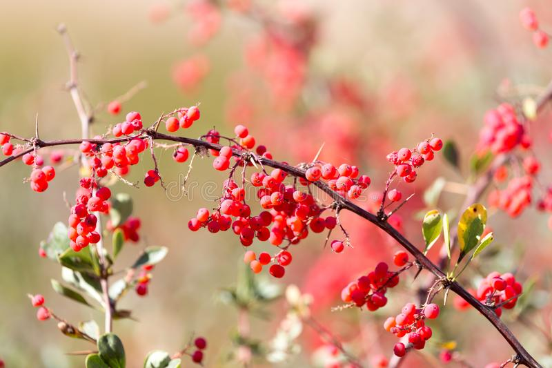 Red barberry on the nature stock photos