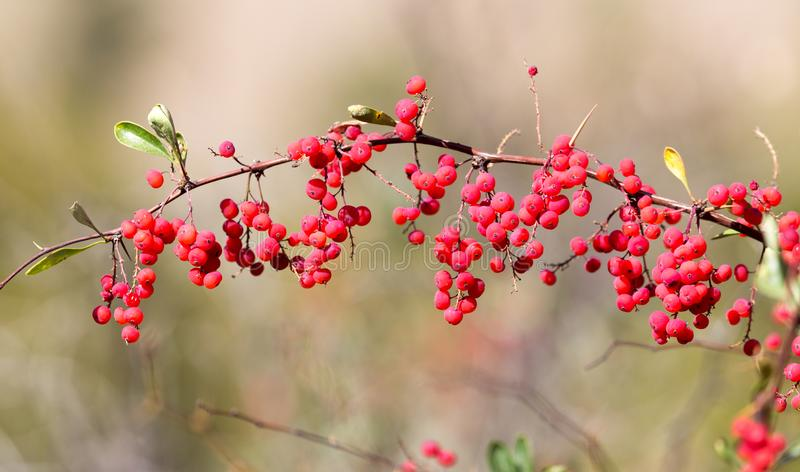 Red barberry on the nature royalty free stock images