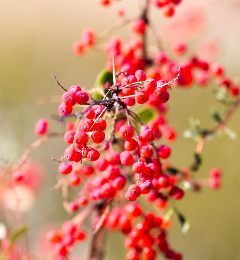 Red barberry on the nature royalty free stock photography