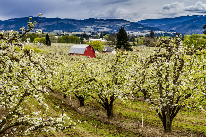 Red Barn in Oregon Pear Orchards. Bright red barn in blooming pear orchards on cloudy spring day royalty free stock photo