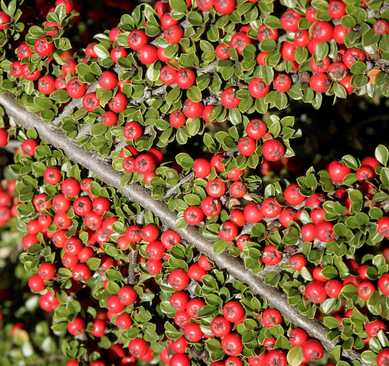 Download Red Barry -detail From Garden Stock Image - Image: 11369671