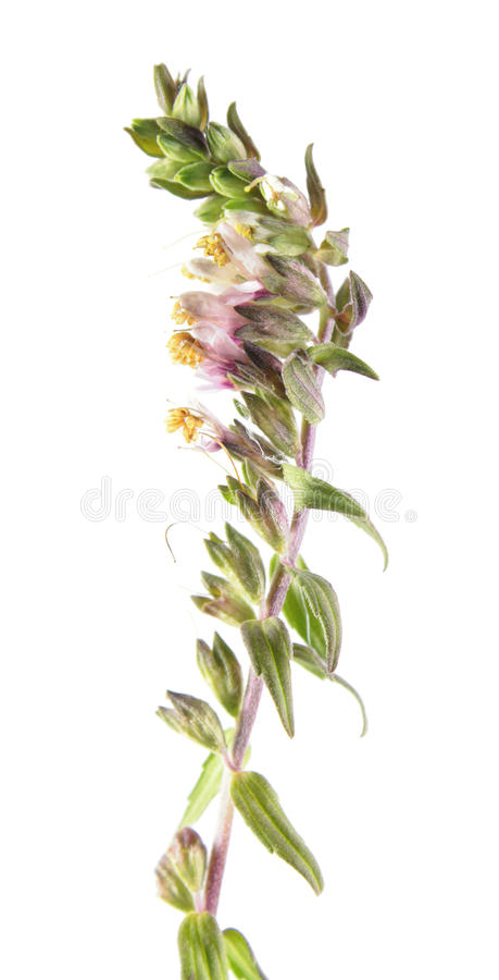 Red Bartsia or Odontites vulgaris isolated on white background. Medicinal plant. Isolated on white background stock image