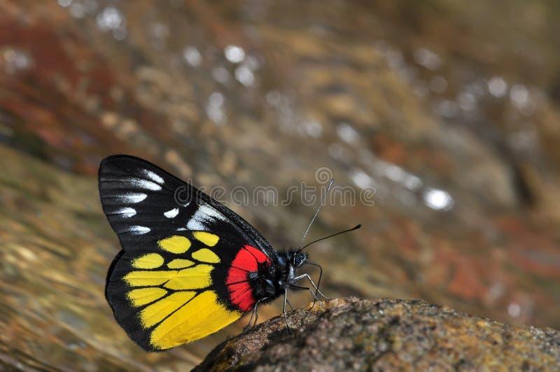 Red-base jezebel butterfly stock photos