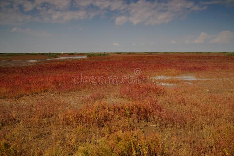 Red beach of Panjin in Liaoning, China. During September royalty free stock image