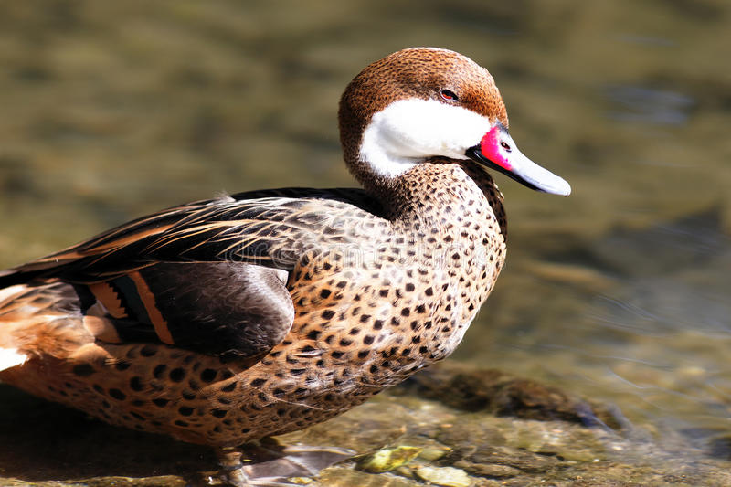 Red beak duck