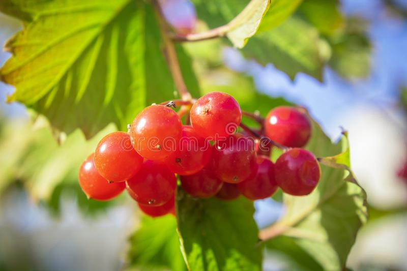 Red, beautiful bush of guelder rose royalty free stock photography