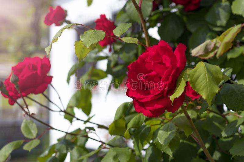 Red beautiful flowers of roses on a bush in the garden. On the background of a rustic white house stock image
