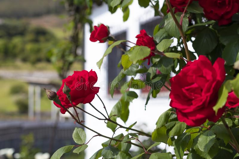 Red beautiful flowers of roses on a bush in the garden. On the background of a rustic white house stock photos