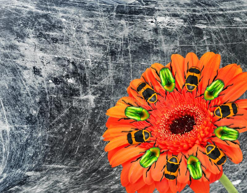 Red beautiful Gerbera flower with colorful beetles round the stamens. Old grunge paper textured image stock image
