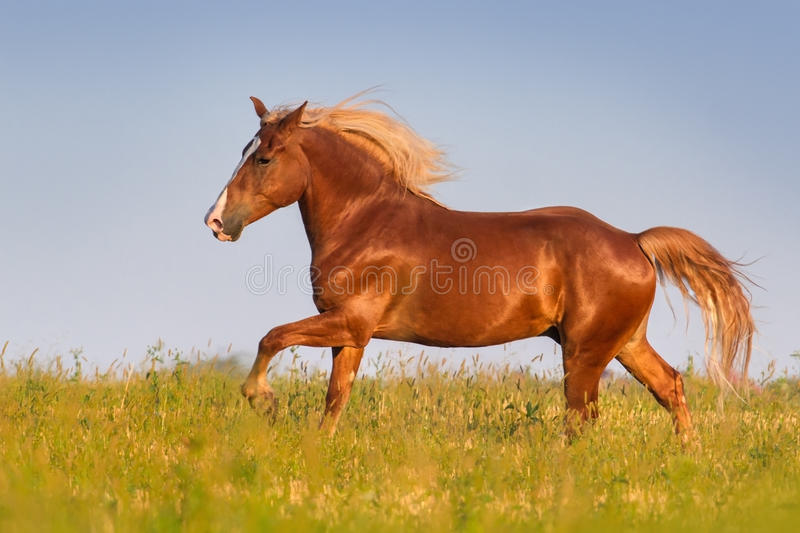 Red beautiful horse stock images