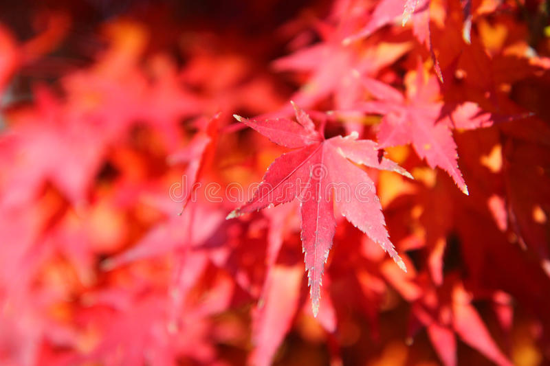 Red Beauty royalty free stock photos