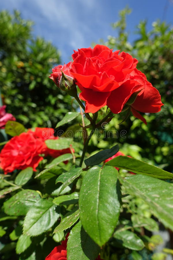 Red beauty. The rose Phyllis Bide produces petal flowers of a very variegated color royalty free stock photography