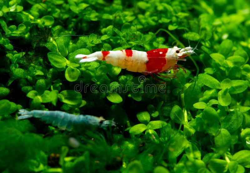 Red bee shrimp stay on grass and look to some directions with blue bolt shrimp as foreground in fresh water aquarium tank.  royalty free stock photography