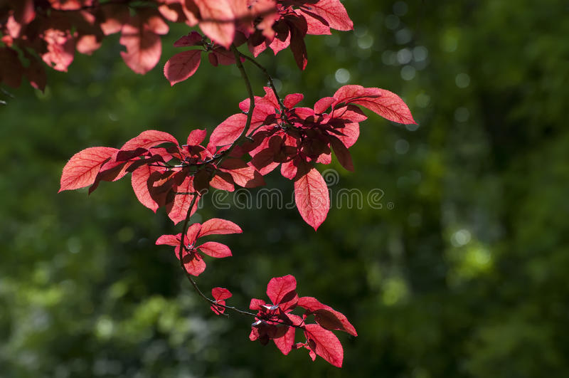 Download Red Beech stock image. Image of colorful, germany, countryside - 14518779