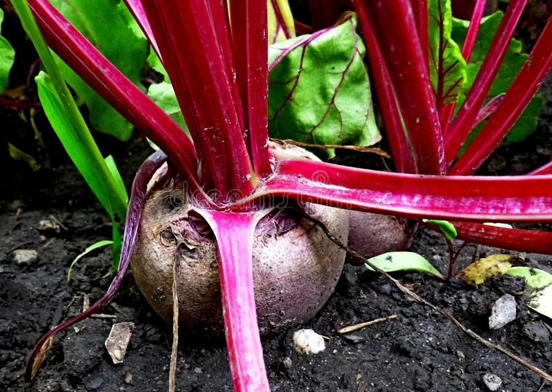 Red beet in the ground. Vegetable garden. Cultivated plants. Red beet in the ground. Vegetable garden. Siberian nature Cultivated plants royalty free stock image