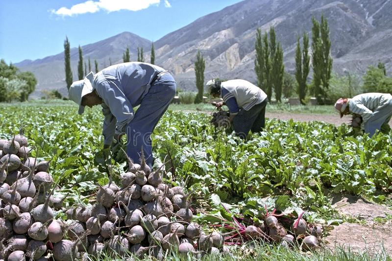 Red beet harvest in northern Argentina stock photo