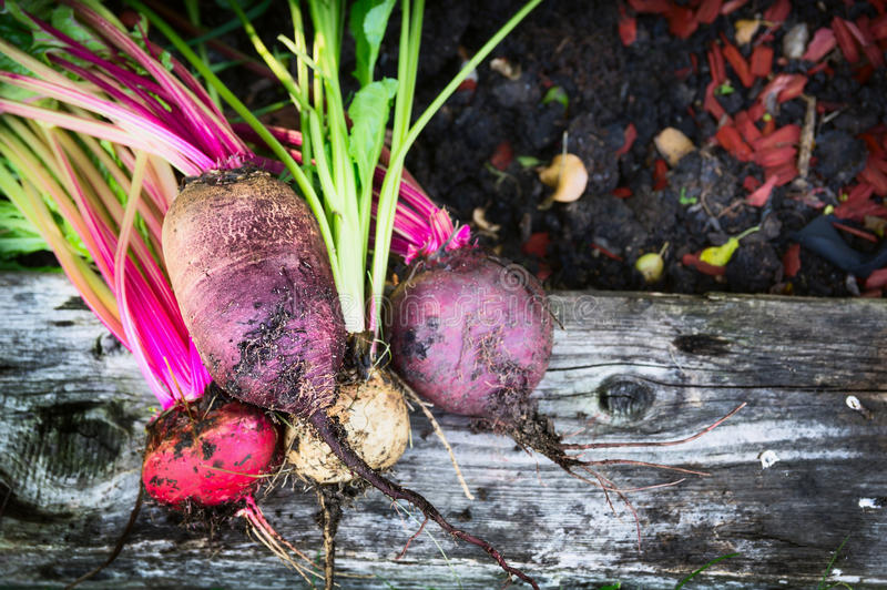 Red beet multicolor various on soil and wooden backgound in garden, top. View royalty free stock image