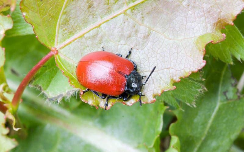 Download Red Beetle stock photo. Image of beetle, tree, pest, melasoma - 25262456