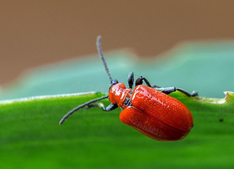 Red Beetle Macro.  stock images