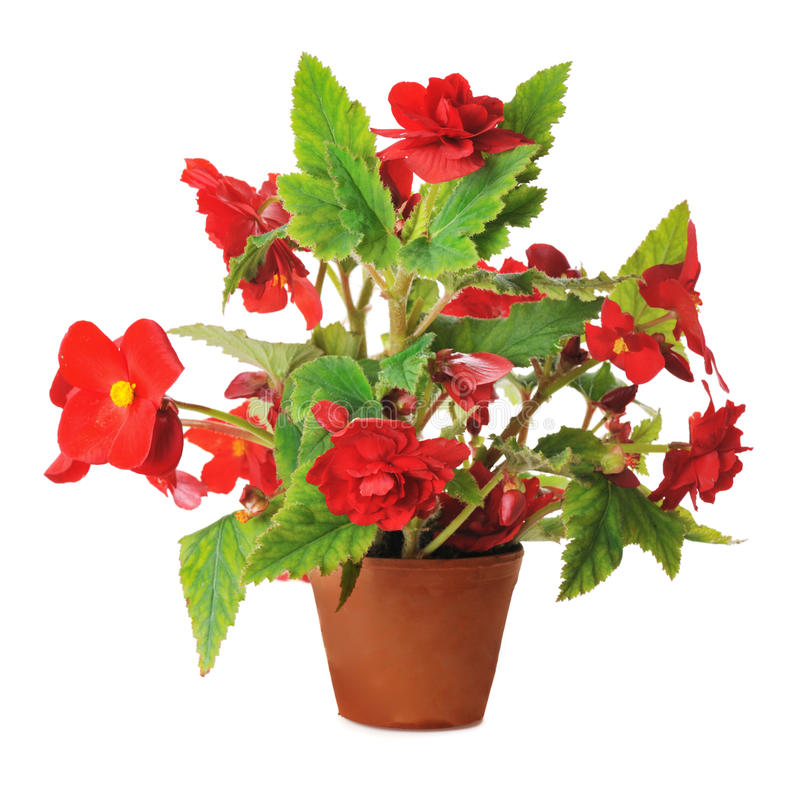 Red begonia stock images