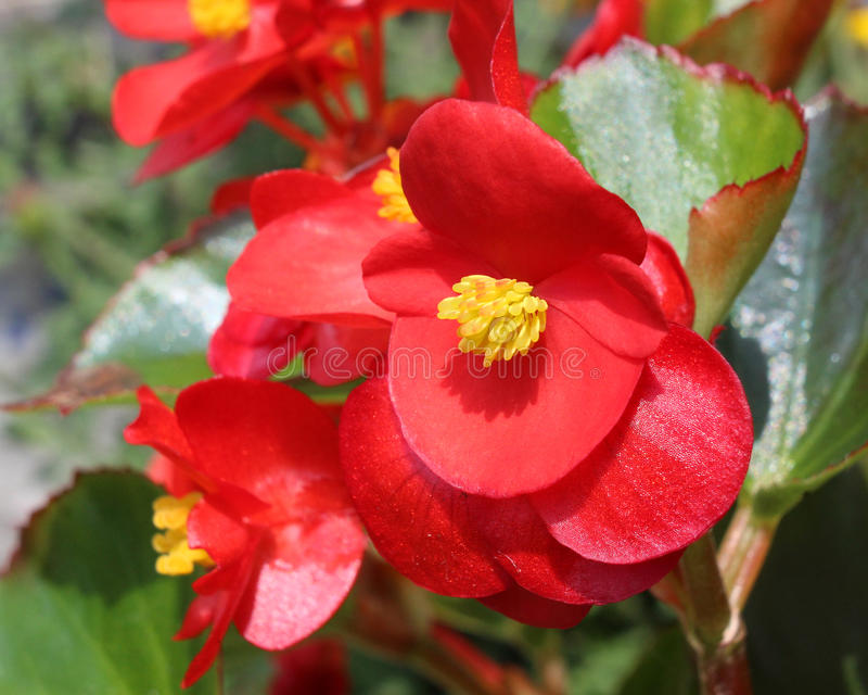 Red Begonia semperflorens stock images