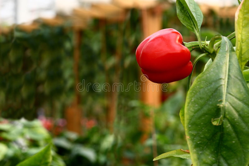 Red Bell Pepper. A red bell pepper planted in a greenhouse (raw available royalty free stock image