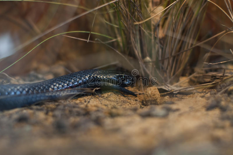 Red-bellied Black Snake royalty free stock photography