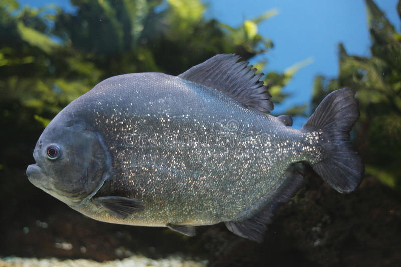Red-bellied piranha. The Red-bellied piranha (Pygocentrus nattereri) is a species of piranha. This species lives in the Amazon River Basin royalty free stock photos