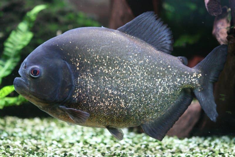 Red bellied piranha. Pygocentrus natterei - Red bellied piranha royalty free stock image