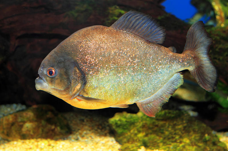 Red-bellied piranha royalty free stock photography