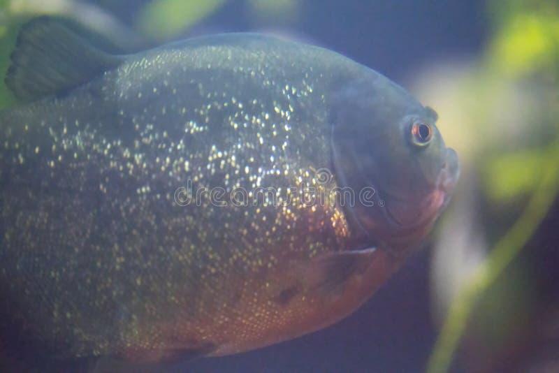 Red-Bellied Piranha - Pygocentrus Nattereri. A Red-Bellied Piranha - Pygocentrus Nattereri royalty free stock photography
