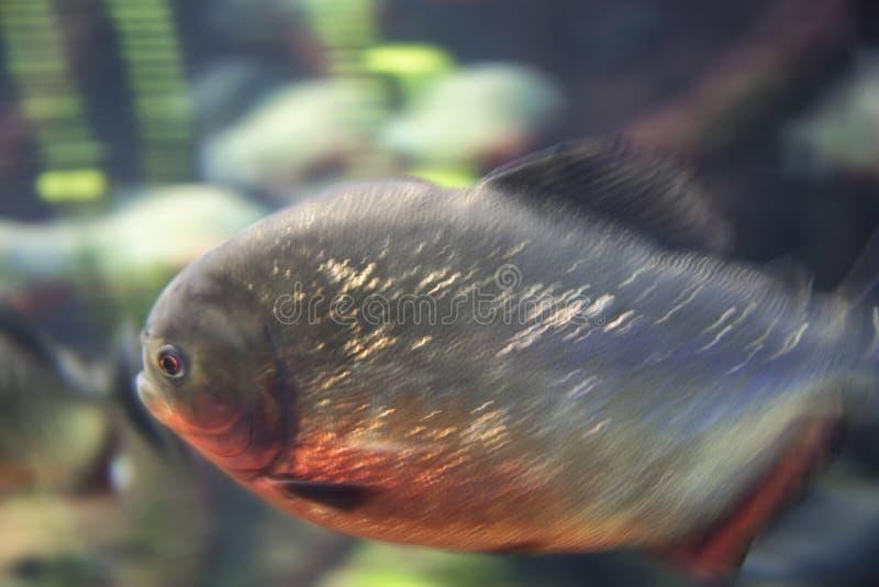 Red bellied piranha Pygocentrus nattereri.  royalty free stock images