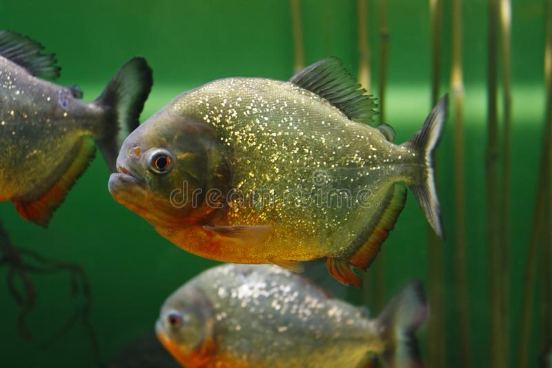 Red-bellied piranha Pygocentrus nattereri, also known as Red piranha in their habitat. Red-bellied piranha Pygocentrus nattereri, also known as the Red piranha royalty free stock images