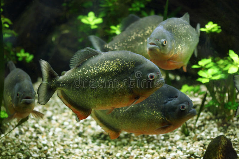 Red-bellied piranha (Pygocentrus nattereri). Also known as the red piranha. Wildlife animal royalty free stock images