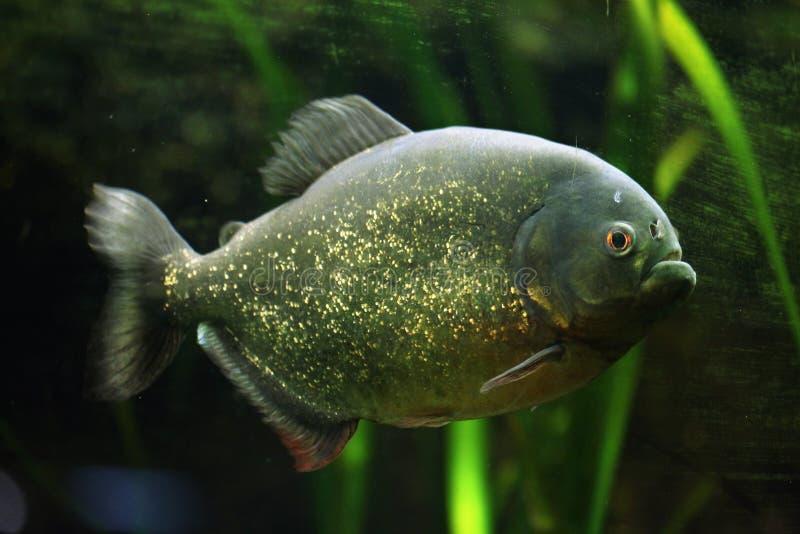 Red-bellied piranha (Pygocentrus nattereri). Also known as the red piranha. Wildlife animal royalty free stock photos