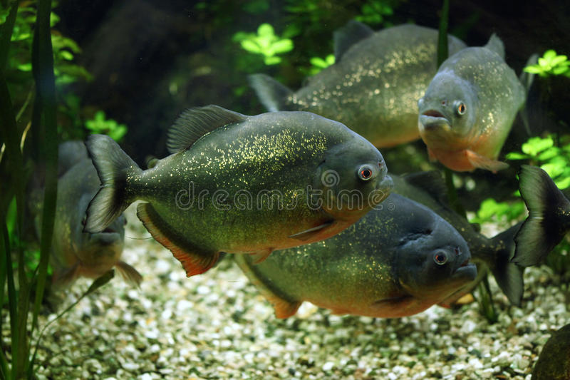 Red-bellied piranha (Pygocentrus nattereri). Also known as the red piranha. Wildlife animal royalty free stock photography