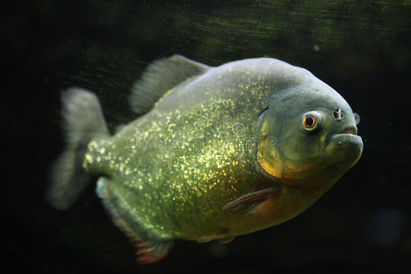 Red-bellied piranha Pygocentrus nattereri. Also known as the red piranha. Wildlife animal royalty free stock photography