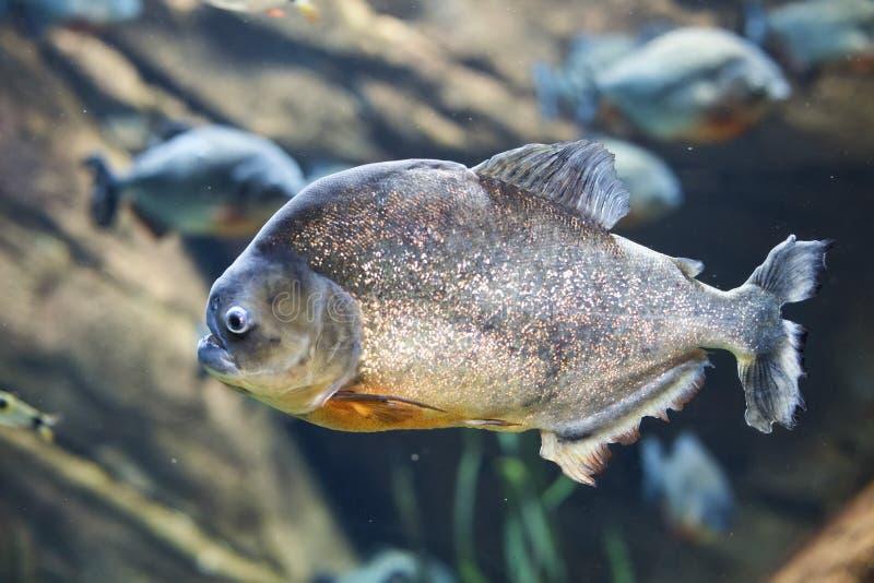 Red-bellied piranha Pygocentrus nattereri. Closeup of a red-bellied piranha Pygocentrus nattereri in an aquarium tank royalty free stock photo