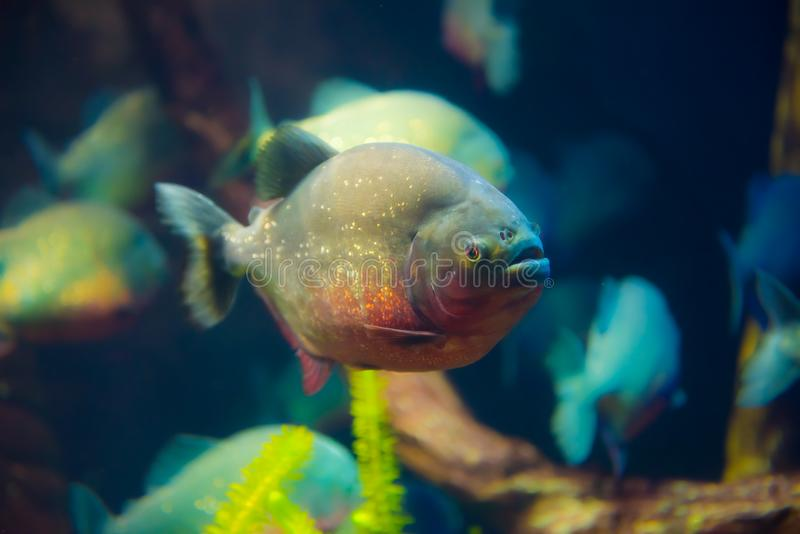 Red bellied piranha, Pygocentrus nattereri. The red belly piranha, also known as the red piranha Pygocentrus nattereri, is a species of piranha native to South stock image