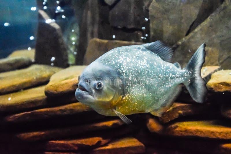 Red bellied piranha Pygocentrus nattereri. Wildlife animal royalty free stock photography
